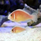 (海水魚)ハナビラクマノミ(ワイルド)(1ペア) 北海道・九州航空便要保温