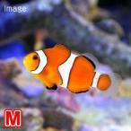 (海水魚 熱帯魚)カクレクマノミ Mサイズ(国産ブリード)(1匹) 北海道・九州航空便要保温
