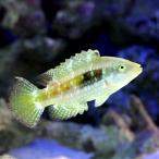 (海水魚)タコベラ(1匹) 北海道・九州・沖縄航空便要保温