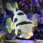 (海水魚 フグ)東アフリカ産 ヒトヅラハリセンボン(1匹) 北海道・九州・沖縄航空便要保温