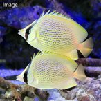 (海水魚)沖縄産 ゴマチョウチョウウオ ペア(1ペア) 北海道・九州・沖縄航空便要保温