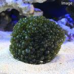 (海水魚 海藻)バロニーボール(タマボロニア)(1個) 北海道・九州・沖縄航空便要保温