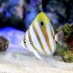 (海水魚)テンツキチョウチョウウオ(1匹) 北海道・九州・沖縄航空便要保温