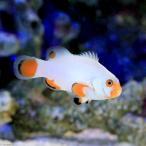 (海水魚)プラチナクラウン(ブリード)(1匹) 北海道・九州航空便要保温
