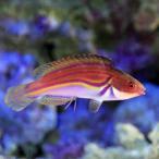 (海水魚)ラボウテッドラス(1匹)