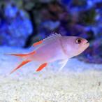 (海水魚)タテスジハタ 幼魚(1匹) 北海道・九州航空便要保温