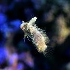(海水魚)東アフリカ産 ハタタテギンポ(1匹) 北海道・九州・沖縄航空便要保温