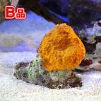 (海水魚 無脊椎)(B品)沖縄産 オレンジスポンジ SMサイズ(1個) 北海道・九州・沖縄航空便要保温