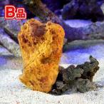(海水魚 無脊椎)(B品)沖縄産 オレンジスポンジ MLサイズ(1個) 北海道航空便要保温