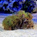 (海水魚 サンゴ)スターポリプ レザー フルグリーン(土台なし) Mサイズ(1個) 北海道・九州・沖縄航空便要保温