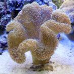 (海水魚 サンゴ)沖縄産 オオウミキノコ Lサイズ(1個) 北海道・九州航空便要保温