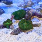 (海水魚 サンゴ)沖縄産 ディスクコーラル ディープグリーン シングル(1個) 北海道・九州・沖縄航空便要保温