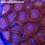 (海水魚 サンゴ)ボタンポリプ レッド(1個) 北海道・九州・沖縄航空便要保温
