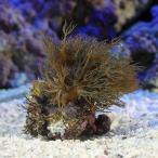 (海水魚 サンゴ)沖縄産 ブルームウミアザミ ベージュ Sサイズ(1個) 北海道・九州・沖縄航空便要保温