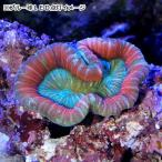 (海水魚 サンゴ)一点物 オオバナサンゴ レッドマルチカラー CM−9153 北海道・九州・沖縄航空便要保温