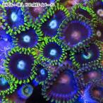 (海水魚 サンゴ)一点物 ケニア産 マメスナギンチャク CM−9279 北海道・九州・沖縄航空便要保温
