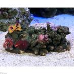 (海水魚 サンゴ)一点物 ミドリイシsp.ビターグリーン レッド系イバラカンザシ付き CM−9409 北海道・九州航空便要保温