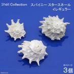 (海水魚 貝殻)シェルコレクション スパイニースタースネール イレギュラー(3個)(形状おまかせ)