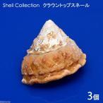 (海水魚 貝殻)シェルコレクション クラウントップスネール Mサイズ(3個)(形状おまかせ)
