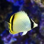 (海水魚)沖縄産 フウライチョウチョウウオ(1匹) 北海道・九州・沖縄航空便要保温