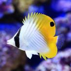 (海水魚)沖縄産 トゲチョウチョウウオ(1匹) 北海道・九州・沖縄航空便要保温