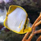 (海水魚)サントスバタフライ(1匹) チョウチョウウオ 北海道・九州・沖縄航空便要保温