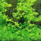 (水草)ベトナムクローバー(水上葉)(無農薬)(1ポット分) 北海道航空便要保温