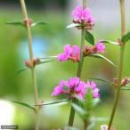 (ビオトープ)水辺植物 ミソハギ(1ポット) (休眠株)