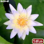 (ビオトープ/睡蓮)熱帯性睡蓮(スイレン)(青) ムーン ビーム(1ポット)(休眠株)