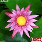 (ビオトープ/睡蓮)熱帯性睡蓮(スイレン)(桃) ピンク カペンシス(1ポット)(休眠株)