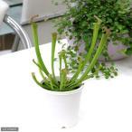 (食虫植物)サラセニア ファーンハミー 3号(1ポット)