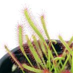 (食虫植物)アフリカナガバモウセンゴケ 赤花 3号(1ポット)