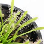 (食虫植物)アフリカナガバモウセンゴケ 白花 3号(1ポット)