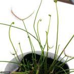 (食虫植物)サスマタモウセンゴケ 3号(1ポット)