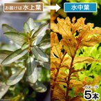 (水草)ルドウィジア インクリナータ(水上葉)(無農薬)(5本)