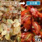 (水草)ルドウィジア セネガレンシス(水上葉)(無農薬)(3本)