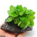 (水草)ルドウィジア レペンス グリーン(水上葉) 穴あき溶岩石付(無農薬)(1個)