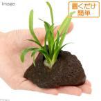 (水草 熱帯魚)置くだけ簡単 ピグミーチェーンサジタリア 穴あき溶岩石付(無農薬)(1個)