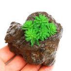 (水草)ミリオフィラムsp.(ガイアナドワーフ)(水上葉) 穴あき溶岩石付(無農薬)(1個) 北海道航空便要保温