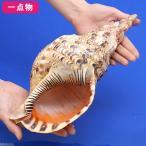 (海水魚 貝殻)一点物 シェルコレクション ホラガイ No.24 KS-4200 沖縄別途送料