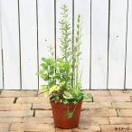 (ビオトープ/水辺植物)インスタント・ビオトープ(寄せ植え)(1鉢)(同梱不可)