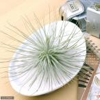 (観葉植物)エアープランツ ティランジア マグヌシアーナ(1株) 北海道冬季発送不可