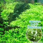 (水草)グリーンロタラ(無農薬)(10本)+おまけロタラ3本付