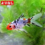 (国産金魚)よりなし(無選別)朱文金(3匹) 北海道・九州航空便要保温
