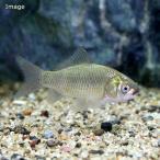 (淡水魚)ゲンゴロウブナ(1匹)