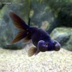 (金魚)黒水泡眼(外国産)(1匹) 北海道航空便要保温