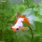 (国産金魚)リボンテール蝶尾(1匹) 北海道・九州航空便要保温