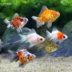(国産金魚)琉金(リュウキン) ショートテール 色指定無し(3匹)