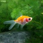 (国産金魚)福ダルマ 透明鱗(3匹)