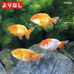 (国産金魚)よりなし(無選別)らんちゅう 深見養魚場産(1匹)